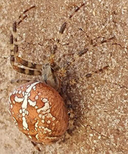 Cross Orb weaver spider