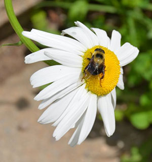 Pollinators in peril and need our help