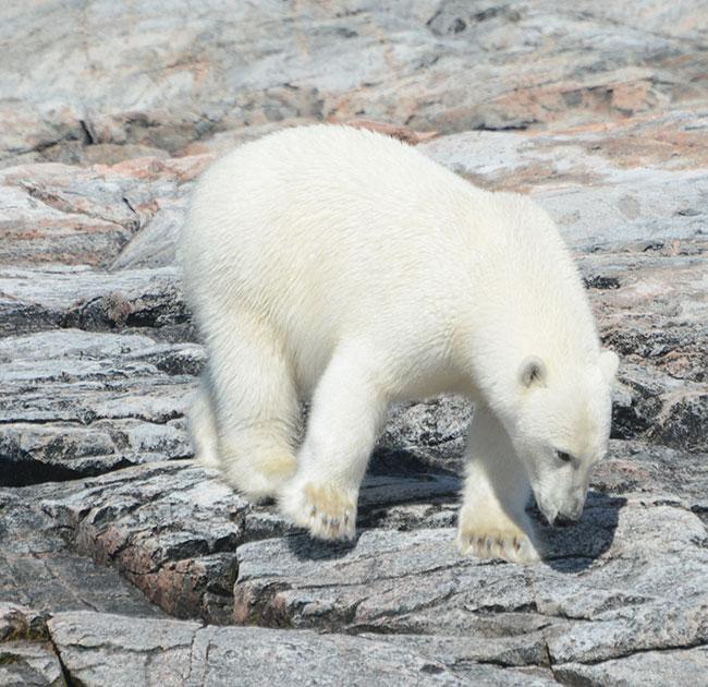 Polar-Bear on the Button Islands Nunavu