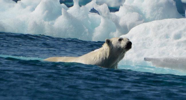 Polar bear on Monumental-Island