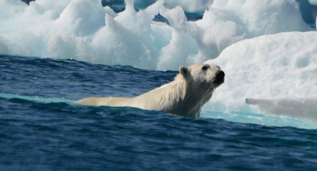 Polar bear on Monumental-Island