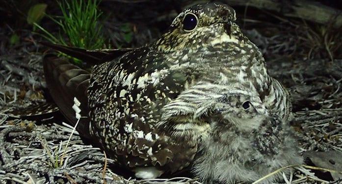 mother nightjar with chick