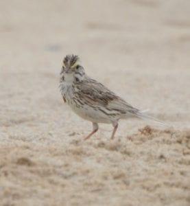 Ipswich Sparrow on Sable Island