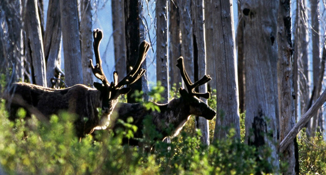 mountain caribou