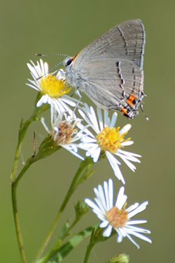 Hairstreak butterfly on Aste