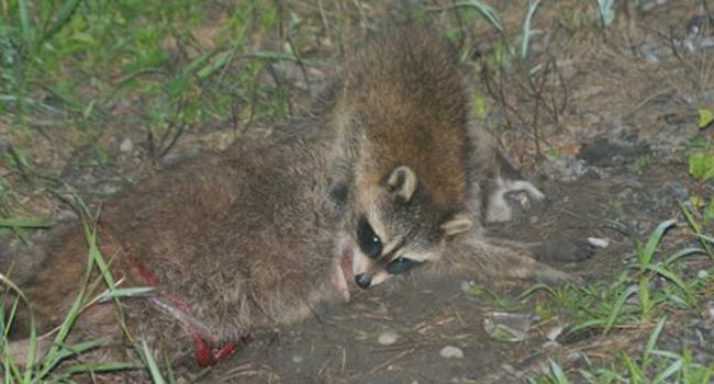 racoon nature wildlife