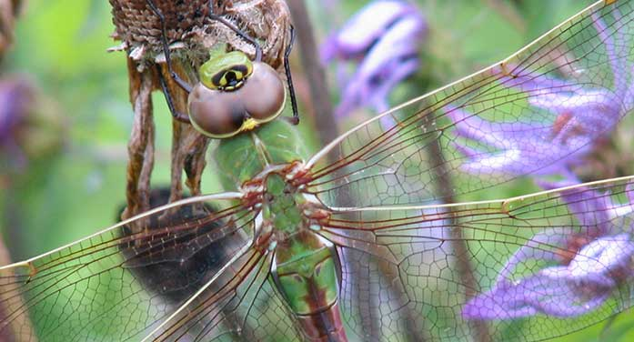 Common Green Darner dragonfly bugs insects