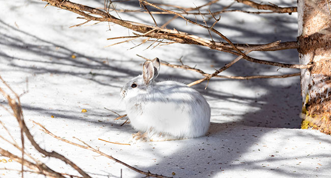 The snowshoe hare