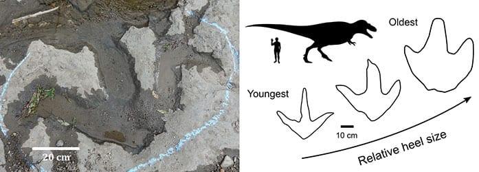 tyrannosaur footprints comparison