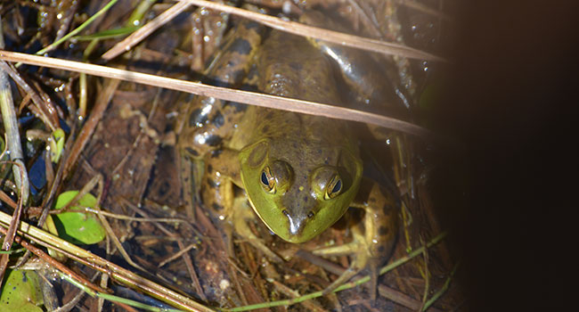 amphibian frog nature
