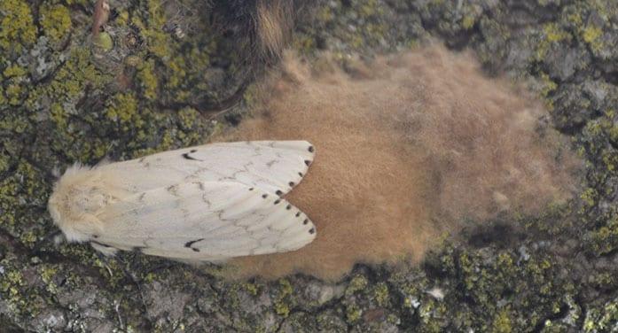 Gypsy Moth - female with egg mass