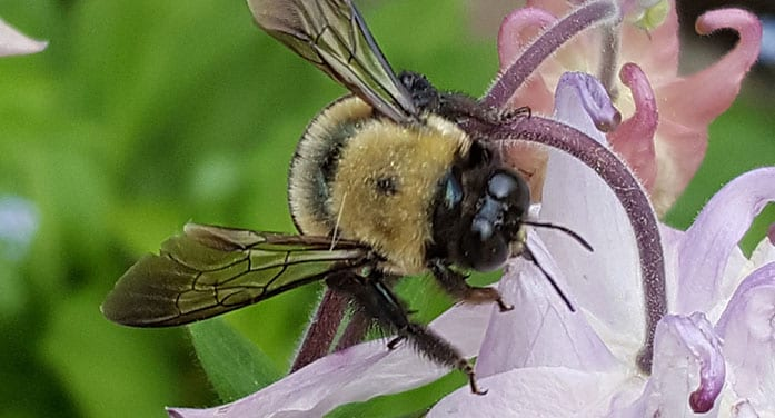 bumblebee insects nature bugs