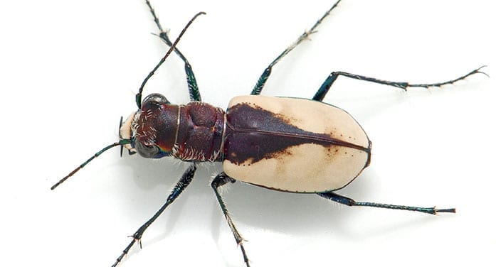 Cicindela formosa gibson beetle insect
